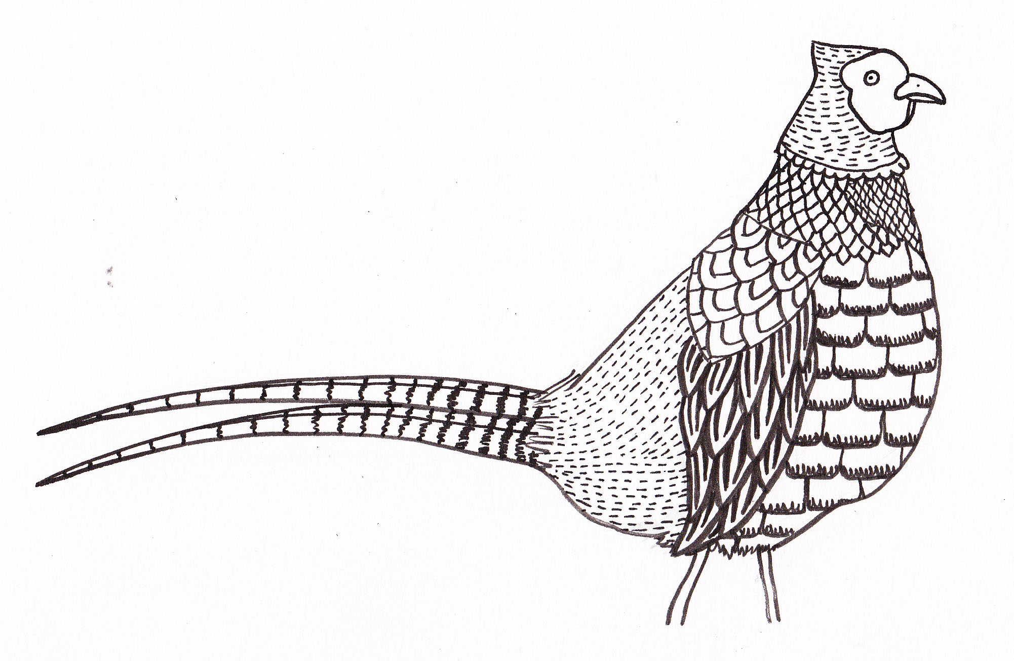 Green Pheasant Drawing